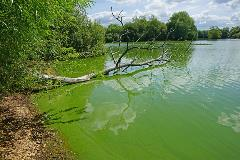 blue green algae2