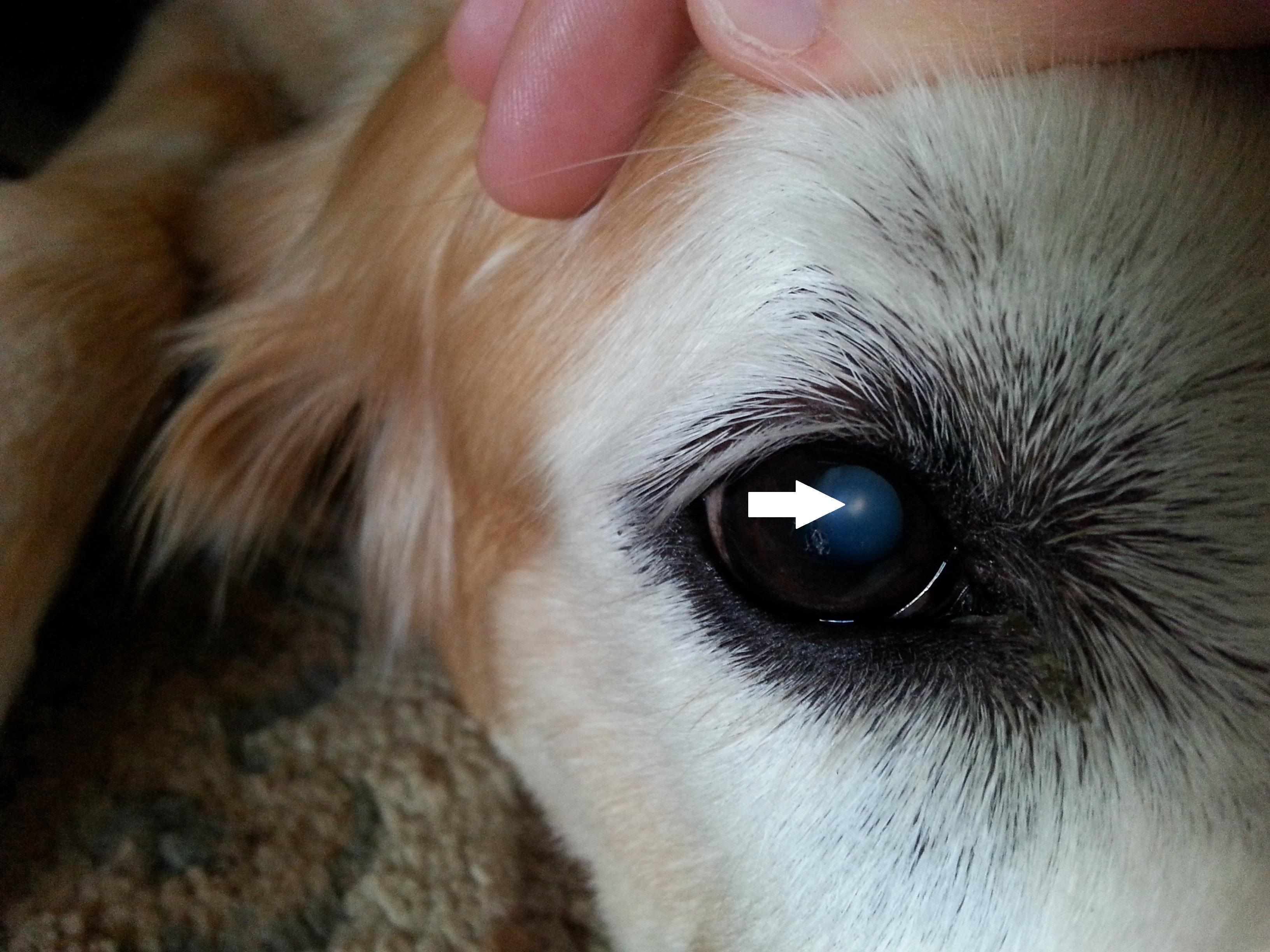 Dog Eye Third Eyelid